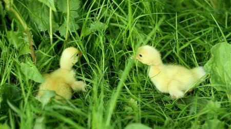 ducky : Small ducklings outdoor on a green grass Stock Footage