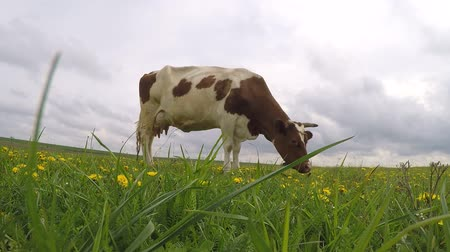 cow eats : Cow eats grass in the field Stock Footage