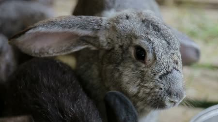 vadon : Gray rabbit bunny big ears