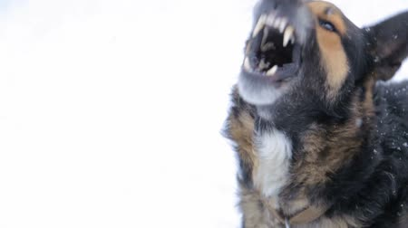 defending : evil dog, barking enraged angry dog outdoors. The dog looks aggressive, dangerous. Furious dog. Angry and aggressive dog showing teeth in snow. Stock Footage