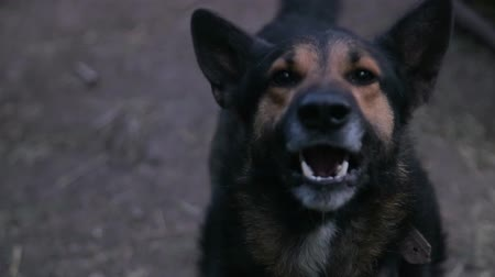 клык : Evil German Shepherd dog, aggressive dog, slow motion Стоковые видеозаписи