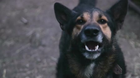hatred : Barking enraged shepherd dog outdoors