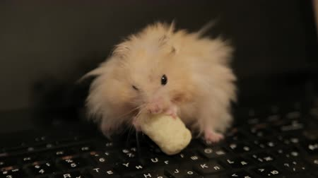 бежевый : Golden Hamster eating, hamster, home rodent