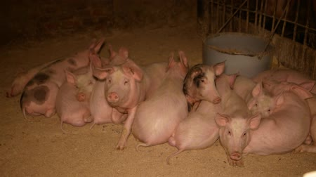 porky : Young piglets on a pig farm, pig breeding, sow
