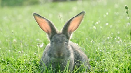 Adult rabbit in green grass, gray rabbit on the grass