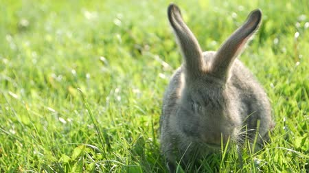 tame animal : Adult rabbit in green grass, gray rabbit on the grass