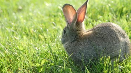 Gray rabbit on green grass, Beautiful cute rabbit on a green summer meadow. Hare walking on nature in the grass. Stock mozgókép