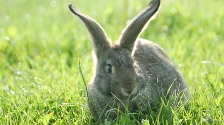 rabbit ears : cute grey rabbit eating a pink flower petal while laying on green grass field in the shade.