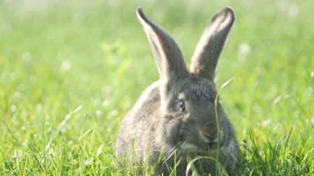 vadon : cute grey rabbit eating a pink flower petal while laying on green grass field in the shade.