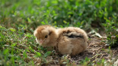Little chicken and egg on the grass Stock mozgókép