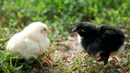Little chicken and egg on the grass Stock Footage