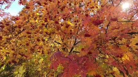 Rowan tree Bright autumn leaves and berries. slow motion camera. Sun glare through the leaves.