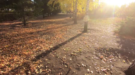 City Park in the fall. Yellow leaves on birch. Green spruce. Backlight and slow camera movement.