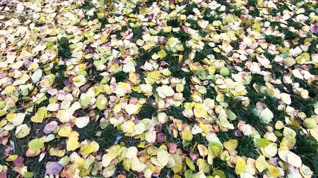 listopad : Bright autumn leaves on the grass. Close-up and slow camera movement forward.