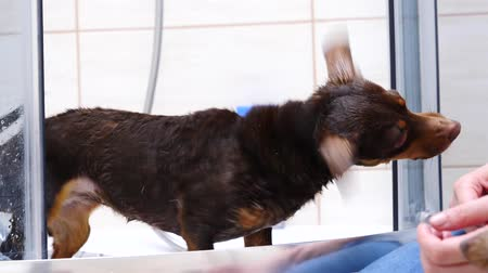Daschund after bath shaking water off