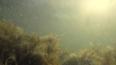podwodny swiat : Sea snow in sunlights on background seaweeds Wideo