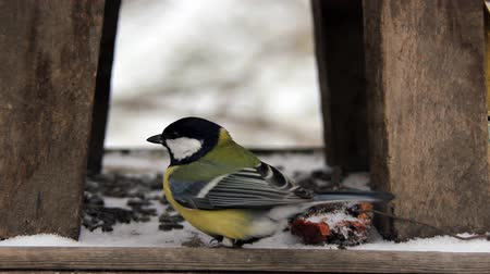 tohum : Careful tit on the feeder in cold winter season Stok Video