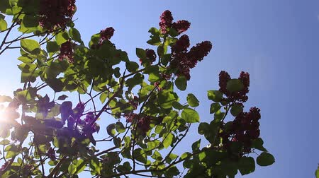 urlop : Lilac bush branch in sunlit background Wideo