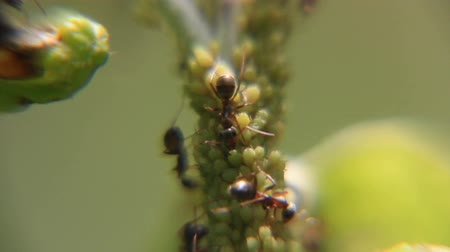 şanslı : Ants pasture on aphids Stok Video