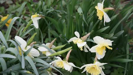 White narcissus flowers on the wind