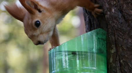 Squirrel drink water from plastic bottle