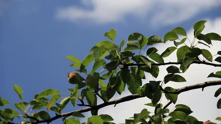 Pear fruits on the tree at sky background