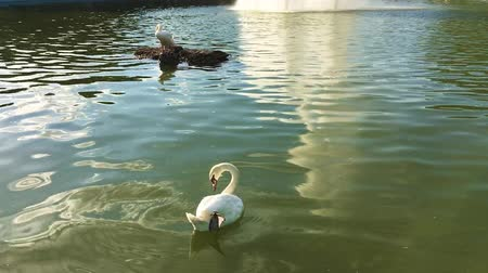Green water of lake in the park with swans Wideo