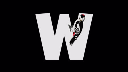 letter w : Letter W and Woodpecker (foreground)