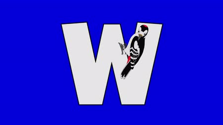 letter w : Letter W and Woodpecker (foreground) Animated animal alphabet. Motion graphic with chroma key. Animal in a foreground of a letter.