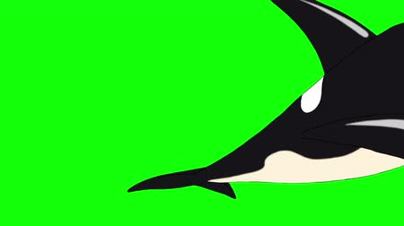 killer whale : Killer Whale Underwater. Animated footage, animal isolated on a green screen. Looped motion graphic.