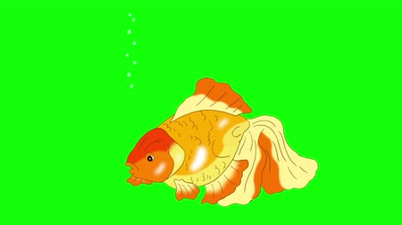 goldfish : Goldfish Floating in Aquarium. Animated Looped Motion Graphic Isolated on Green Screen