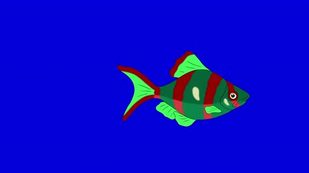 goldfish : Big Red-green Aquarium Fish floats in an aquarium. Animated Looped Motion Graphic Isolated on Blue Screen