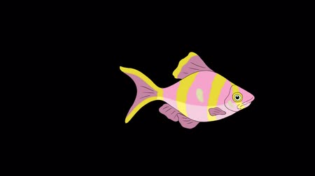 Big Rose-yellow striped Aquarium Fish floats in an aquarium. Animated Looped Motion Graphic with Alpha Channel. Стоковые видеозаписи
