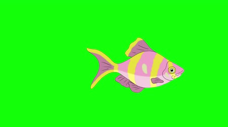 Big Rose-yellow striped Aquarium Fish floats in an aquarium. Animated Looped Motion Graphic Isolated on Green Screen Стоковые видеозаписи