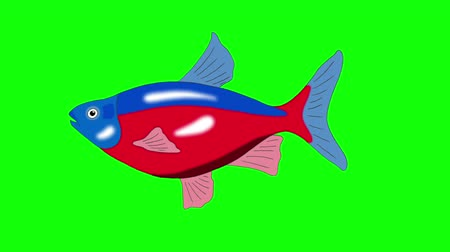 Big Red-blue striped Aquarium Fish floats in an aquarium. Animated Looped Motion Graphic Isolated on Green Screen