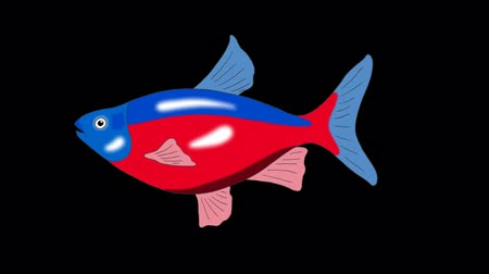 farpa : Big Red-blue striped Aquarium Fish floats in an aquarium. Animated Looped Motion Graphic with Alpha Channel. Stock Footage