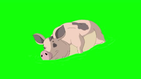 porquinho : Big Yellow-pink Pig sleeps and wakes up in a puddle. Animated Looped Motion Graphic Isolated on Green Screen. Happy Chinese New Year 2019 Stock Footage