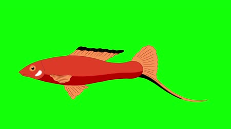 Big Red Aquarium Fish floats in an aquarium. Animated Looped Motion Graphic Isolated on Green Screen Стоковые видеозаписи