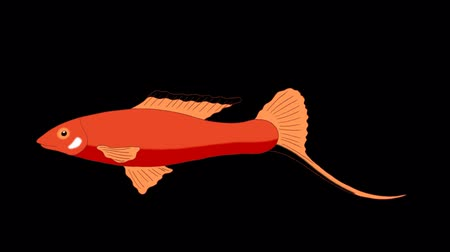 Big Red Aquarium Fish floats in an aquarium. Animated Looped Motion Graphic with Alpha Channel.