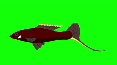 goldfish : Big Brown Aquarium Fish floats in an aquarium. Animated Looped Motion Graphic Isolated on Green Screen