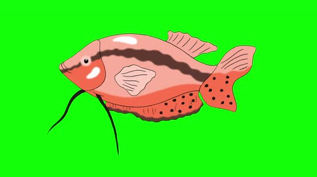 Big Red Aquarium Fish Gourami floats in an aquarium. Animated Looped Motion Graphic Isolated on Green Screen