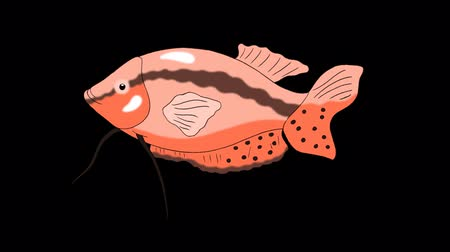 Big Red Aquarium Fish Gourami floats in an aquarium. Animated Looped Motion Graphic with Alpha Channel.