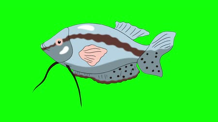 Big Gray Aquarium Fish Gourami floats in an aquarium. Animated Looped Motion Graphic Isolated on Green Screen