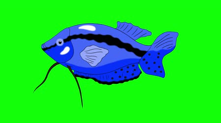 Big Blue Aquarium Fish Gourami floats in an aquarium. Animated Looped Motion Graphic Isolated on Green Screen Стоковые видеозаписи