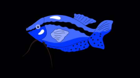Big Blue Aquarium Fish Gourami floats in an aquarium. Animated Looped Motion Graphic with Alpha Channel.