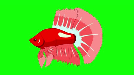 Big Red Aquarium cockerel fish floats in an aquarium. Animated Looped Motion Graphic Isolated on Green Screen Стоковые видеозаписи