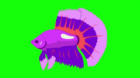 seqüência : Big Purple Aquarium Cockerel Fish Floats in an aquarium. Animated Looped Motion Graphic Isolated on Green Screen