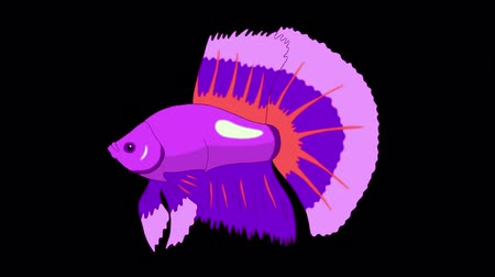 Big Purple Aquarium Cockerel Fish Floats in an aquarium. Animated Looped Motion Graphic with Alpha Channel. Стоковые видеозаписи