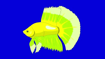 Big Green Aquarium Cockerel Fish Floats in an aquarium. Animated Looped Motion Graphic Isolated on Blue Screen
