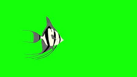 Small Silver Scalare Angelfish swims in an aquarium. Animated Motion Graphic Isolated on green screen
